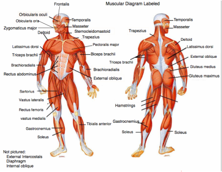 health science i (bryant) - welcome to health science education, Muscles